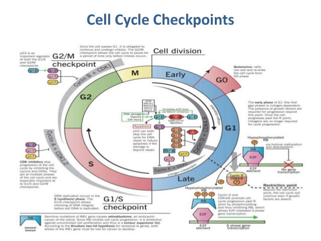 cell-cycle-regulation-8-638