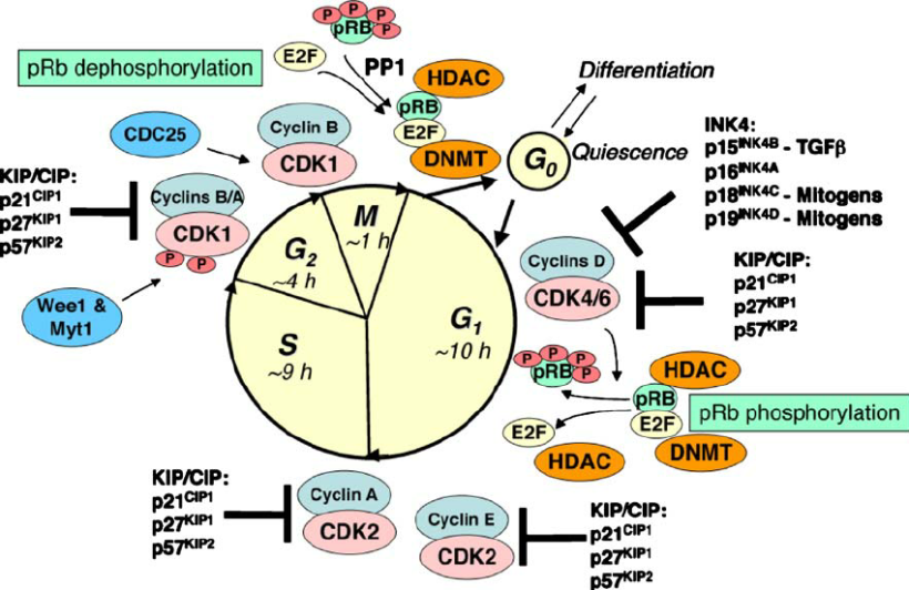 Regulation-of-cell-cycle-progression-by-cyclin-dependent-kinases-CDKs-CDK