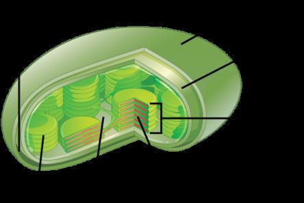 chloroplastopenstax.png