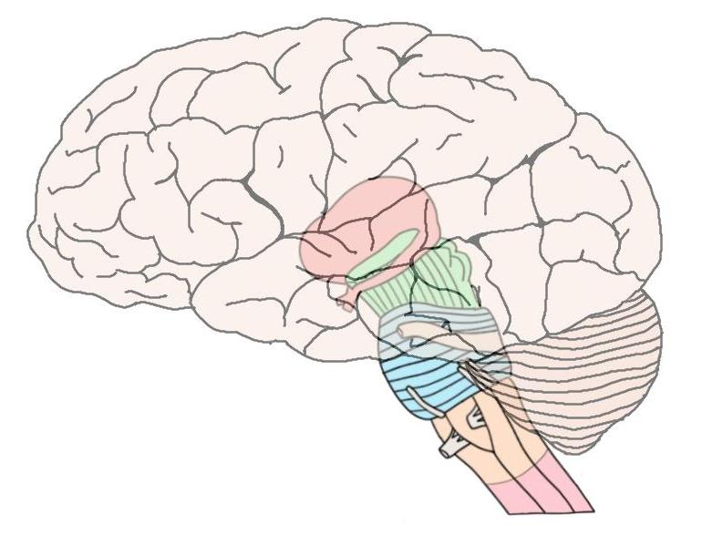 Know your brain: Brainstem — Neuroscientifically Challenged